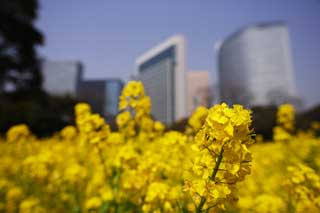 photo,material,free,landscape,picture,stock photo,Creative Commons,Rape flowers and a building, rape flower, NanoHana, Yellow,