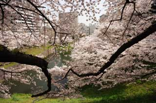 photo,material,free,landscape,picture,stock photo,Creative Commons,A cherry tree of the Imperial Palace, cherry tree, petal, ,