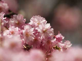 photo,material,free,landscape,picture,stock photo,Creative Commons,A double cherry blossom in full glory, cherry tree, petal, ,