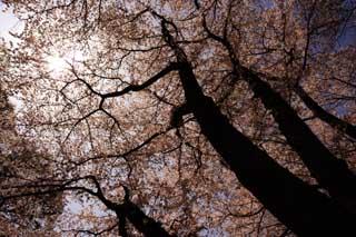 photo, la matière, libre, aménage, décrivez, photo de la réserve,Une silhouette d'un toit d'un arbre de la cerise, arbre de la cerise, pétale, arbre de la cerise, arbre de la cerise