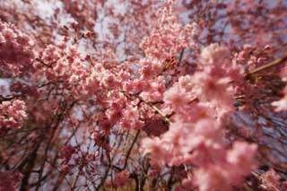 photo, la matière, libre, aménage, décrivez, photo de la réserve,Une double fleur de la cerise, arbre de la cerise, pétale, arbre de la cerise, arbre de la cerise