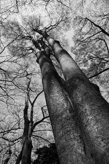 photo,material,free,landscape,picture,stock photo,Creative Commons,A huge tree of a park, Monochrome, Black and white, The bark, tree