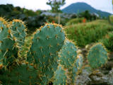 photo,material,free,landscape,picture,stock photo,Creative Commons,Prickly pear, green, thorn, ,