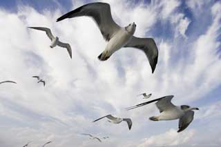 photo,material,free,landscape,picture,stock photo,Creative Commons,It is a gull high in the sky, gull, , , flight