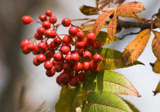 photo,material,free,landscape,picture,stock photo,Creative Commons,The rowan which burns, Fruit, Red, nut,