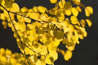 photo,material,free,landscape,picture,stock photo,Creative Commons,The colored leaves which I am yellow, and shine, Yellow, Maple, ,