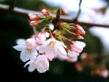 photo,material,free,landscape,picture,stock photo,Creative Commons,Cluster of cherry blossoms, cherry blossom, , ,