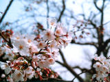 photo,material,free,landscape,picture,stock photo,Creative Commons,Spray of cherry blossoms, cherry blossom, , ,