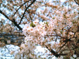 photo,material,free,landscape,picture,stock photo,Creative Commons,Cherry blossoms, cherry blossom, , ,