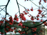 photo,material,free,landscape,picture,stock photo,Creative Commons,Weeping cherry, red, , ,