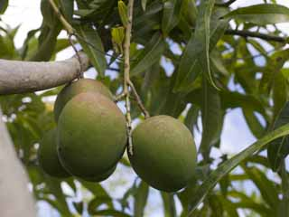 photo,material,free,landscape,picture,stock photo,Creative Commons,A mango, mango, tropical plant, Tropical, Fruit