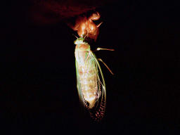 photo,material,free,landscape,picture,stock photo,Creative Commons,Newly-emerged cicada, molting, cicada, ,