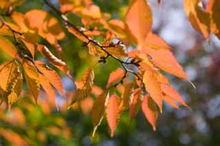 photo,material,free,landscape,picture,stock photo,Creative Commons,Autumn of a zelkova, , zelkova, , Colored leaves