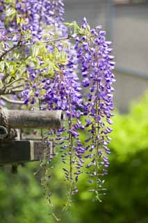 photo,material,free,landscape,picture,stock photo,Creative Commons,Wisteria of a wisteria trellis, , Japanese wistaria, Wisteria, I am purple