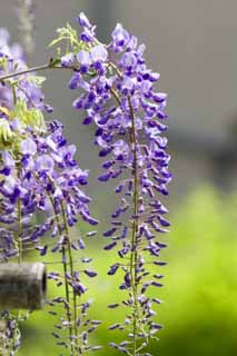 photo,material,free,landscape,picture,stock photo,Creative Commons,Wisteria, , Japanese wistaria, Wisteria, I am purple