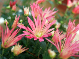 photo,material,free,landscape,picture,stock photo,Creative Commons,Chrysanthemum flowers, pink, , ,