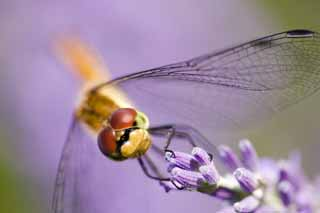 photo,material,free,landscape,picture,stock photo,Creative Commons,It is a dragonfly to a lavender, dragonfly, , , feather