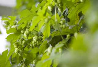 photo,material,free,landscape,picture,stock photo,Creative Commons,A hop, hop, Beer, , BEER
