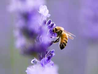 photo,material,free,landscape,picture,stock photo,Creative Commons,It is a bee to a lavender, lavender, , bee,