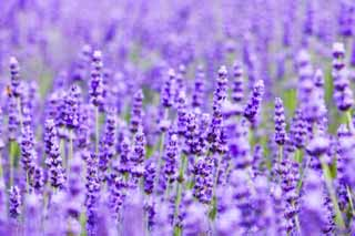 photo,material,free,landscape,picture,stock photo,Creative Commons,A lavender field, lavender, flower garden, Bluish violet, Herb