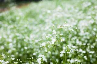 photo, la matière, libre, aménage, décrivez, photo de la réserve,Le - champ du souffle d'un bébés, bébés - souffle, Tourmentez l'herbe, Herbe Kasumi, Je parais être voilés
