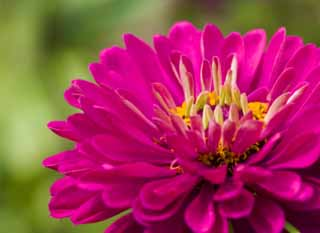 photo,material,free,landscape,picture,stock photo,Creative Commons,A zinnia, zinnia, Purplish red, petal, flower