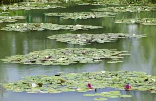 photo,material,free,landscape,picture,stock photo,Creative Commons,A pond of a water lily, , water lily, ,