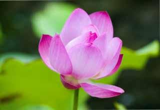 photo, la matière, libre, aménage, décrivez, photo de la réserve,Un lotus, lotus, lotus, , Rose