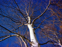 photo,material,free,landscape,picture,stock photo,Creative Commons,Birch growing skyward, mountain, blue sky, ,