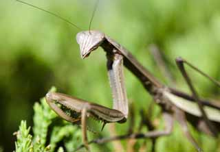 photo,material,free,landscape,picture,stock photo,Creative Commons,A mantis, mantis, , ,