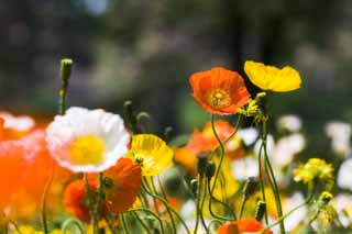 photo,material,free,landscape,picture,stock photo,Creative Commons,A poppy flower bed, poppy, I delete it, , Mustard