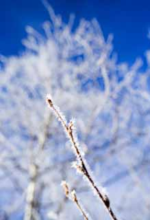photo,material,free,landscape,picture,stock photo,Creative Commons,The rime on trees, blue sky, The rime on trees, , white birch