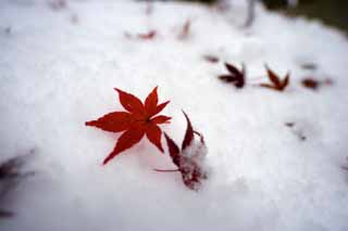 photo,material,free,landscape,picture,stock photo,Creative Commons,Snow and red leaves, It is snowy, Red, maple, Maple