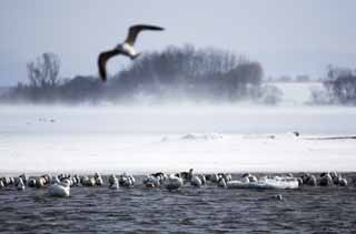 photo,material,free,landscape,picture,stock photo,Creative Commons,Winter of Tohfutsu lake, swan, gull, Lake toe Hutu, It is snowy