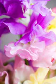 photo,material,free,landscape,picture,stock photo,Creative Commons,Spring of sweet pea, Pink, Purplish red, petal,