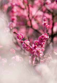 photo,material,free,landscape,picture,stock photo,Creative Commons,A plum is in full glory, Bear me, plum, , plum garden
