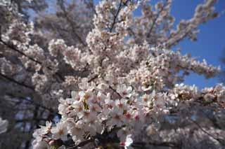 لأزهار الكرز!!!!! yun_3457.jpg