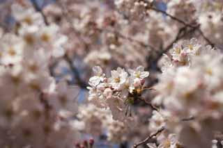 photo, la matière, libre, aménage, décrivez, photo de la réserve,Arbre de la cerise fleur pleine, arbre de la cerise, arbre de la cerise, arbre de la cerise, Arbre de cerise Yoshino