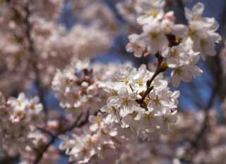 لأزهار الكرز!!!!! yun_3459.jpg