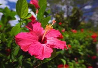 photo,material,free,landscape,picture,stock photo,Creative Commons,A hibiscus, hibiscus, petal, Tropical, southern country