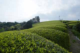 photo,material,free,landscape,picture,stock photo,Creative Commons,A tea plantation of Nihondaira, Tea, tea plantation, furrow, tea-leaf
