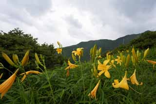 photo,material,free,landscape,picture,stock photo,Creative Commons,The day lily which blooms in profusion, Yellow, I am similar, and a kid is isolated and fixes it, day lily, Nikko