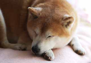 photo,material,free,landscape,picture,stock photo,Creative Commons,An afternoon nap of an old dog, Japanese midget Shiba, dog, There isn't it, pet