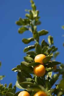 photo,material,free,landscape,picture,stock photo,Creative Commons,A kumquat, kumquat, , Citrus fruit, orange