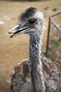 photo,material,free,landscape,picture,stock photo,Creative Commons,I am rare, I am rare, An ostrich, bird,