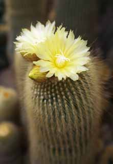 photo,material,free,landscape,picture,stock photo,Creative Commons,A yellow flower of a cactus, , cactus, ,