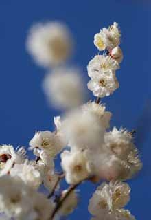 photo,material,free,landscape,picture,stock photo,Creative Commons,A dance of white plum blossoms, flower of a plum, white flower, branch, blue sky