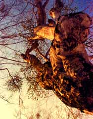 photo,material,free,landscape,picture,stock photo,Creative Commons,Mistletoe in the sunset, setting sun, branch, tree,