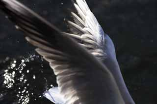 photo,material,free,landscape,picture,stock photo,Creative Commons,A moment of a flap, wing, wing, gull, feather