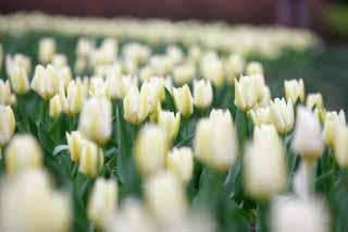 photo, la matière, libre, aménage, décrivez, photo de la réserve,Un champ de la tulipe, , tulipe, lit de la fleur, fleur